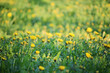 A dandelion meadow in spring season - 227127923