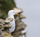 Herring Gull on Cliff