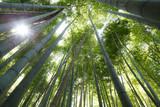 Bamboo forest, Arashiyama, Kyoto, Japan. Morning sunlight.