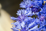 Blue Cornflower bouquet closeup in abstract background with place for text.