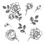 Set of vector hand drawn illustrations of rose. - 227154326
