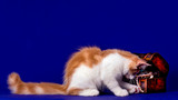 Pretty maine coon kitten in studio, blue background, isolated.