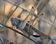 Tuscany, locust grasshopper climbs a stem of a plant.