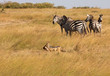 Quadro Black-backed jackal, canis mesomelas, with part of a Thomsons gazelle in its mouth, runs by a group of zebra