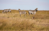 Black-backed jackal, canis mesomelas, with part of a Thomsons gazelle in its mouth, runs by a group of zebra