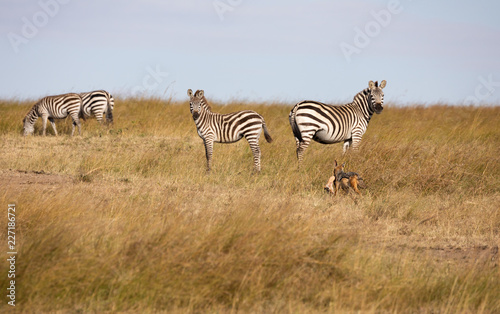 Black-backed jackal, canis mesomelas, with part of a Thomsons gazelle in its mouth, runs by a group of zebra - 227186721