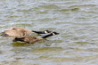 two geese swiming together