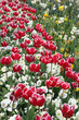 Beautiful display of tulips in a variety of colours at Floriade, Canberra - 227210198