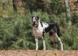 Great Dane in Natural Setting