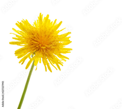 Foto Murales yellow dandelion on a white background