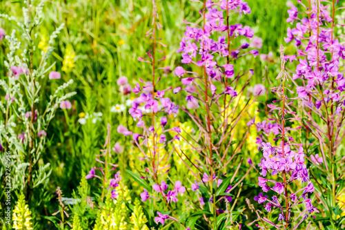 Foto Murales field of purple flowers, in Sweden Scandinavia North Europe