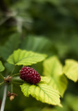 One huge red raspberry with leaves.