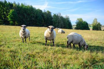 Schafe auf der Wiese Bauernhof