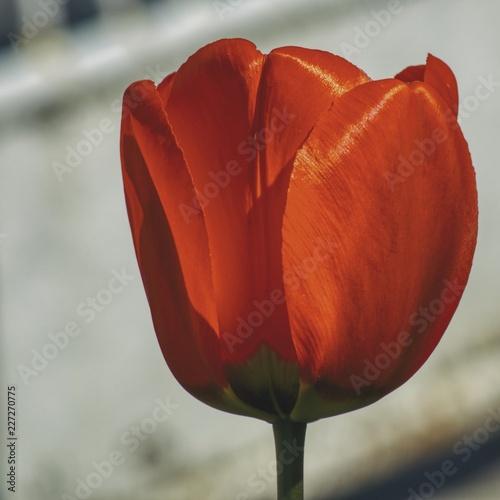Czerwony tulipan w zbliżeniu na białym rozmytym tle