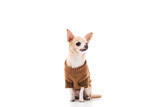 cute chihuahua dog in brown sweater isolated on white