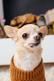 close up view of little chihuahua dog sticking tongue out in room - 227277165