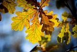 oak autumn twig - 227278983