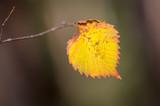 abstract aspen autumn leaf - 227278992