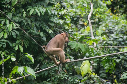 Foto Murales Wild Macaques in the island of Borneo; Malaysia