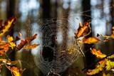 spider web in autumn forest - 227290517