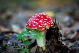 fly agaric mushroom - 227290555