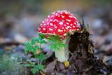 nice toadstools mushroom - 227290569