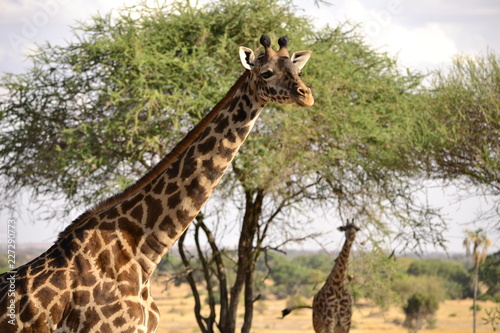 Naklejka Giraffe - Afrika