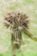 Löwenzahn Samen Detailaufnahme