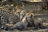 Gepard Familie