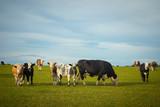 Cows grazing on lush green farmland in summer