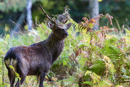 Close-up on Sika stag deer in a field of fern s,Killlarney national park in the Rebublic of Ireland