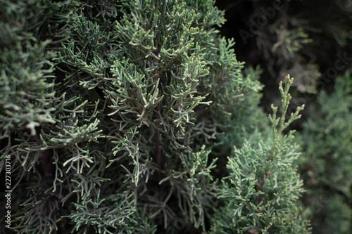 Foto Murales Detalle de ramas de pino