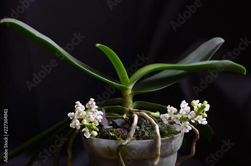 Orchidée Tuberolabium kotoense - 227304942