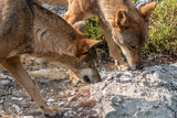 Two wolfs smelling searching for food over rock