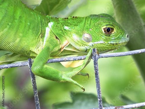 Fototapeta Chameleon climbing onto a fence