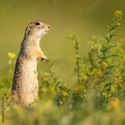 Foto Murales Funny Ground squirrel (Spermophilus pygmaeus) stands in the grass and looks at the camera. Side view