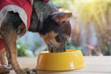 Cute small dog eating with bowl of dog food. Pets is feeding concept.