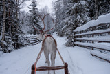 Deer ride in snowy forest. Finland - 227343515
