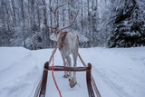 Deer ride in snowy forest. Finland - 227343545