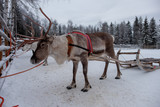 Reindeers ready to ride on a farm in Finland - 227343704