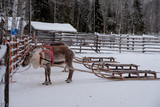 Reindeers ready to ride on a farm in Finland - 227343789