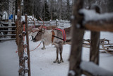 Reindeers ready to ride on a farm in Finland - 227343906