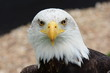 Bald eagle (haliaeetus leucocephalus) looking at the camera