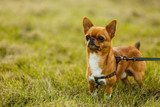 beautiful little chihuahua running on the grass