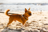 beautiful little chihuahua on a beach near the water