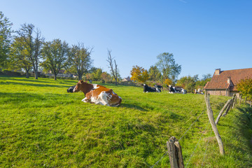 Herd of cows in a green meadow on a hill in sunlight at fall