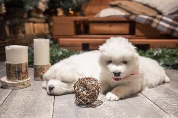два щенка самодийской хриплой возле елки