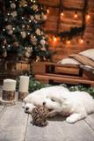 два щенка самоеда у рождественской елки