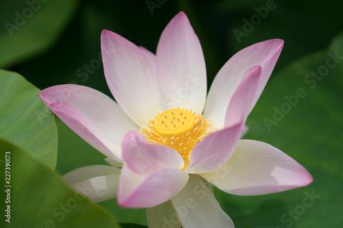 Foto Murales Lotusblüte