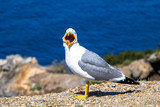 Larus argentatus European Herring Gull on the mediterranean beach